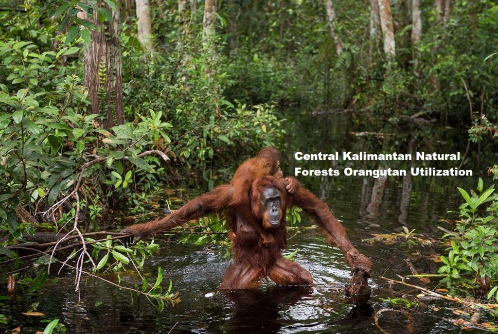 Central Kalimantan Natural Forests Orangutan Utilization